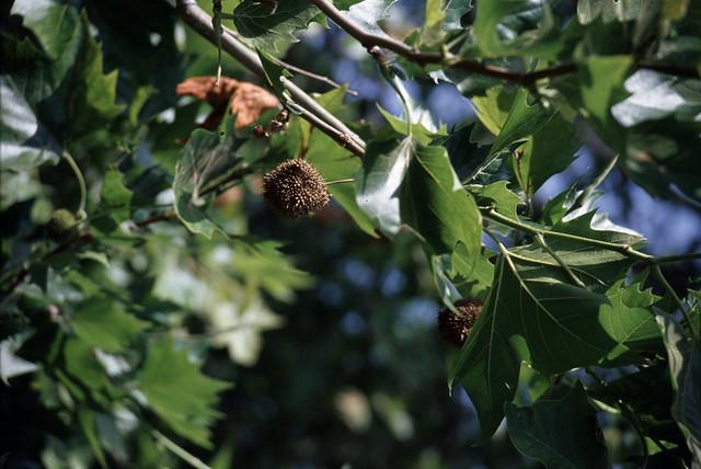 poplar closeup