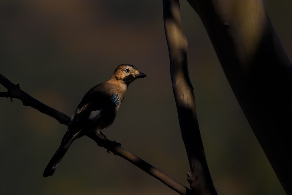 Hiding In The Shadows : Eurasian Jay - Gaio-comum - Garrulus glandarius