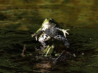 Fighting Frogs