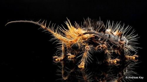 Hairy Longhorn Beetle, Desmiphora fasciculata, Cerambycidae