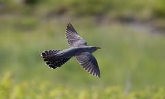 Cuckoos at Grass Point, Mull #6 of 6