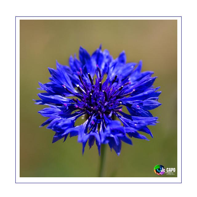 Cyanus segetum: L'odeur est l'intelligence des fleurs.