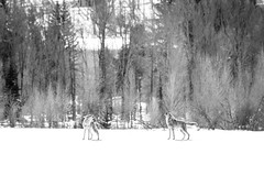 Coyotes, Grand Teton National Park. March, 2019.
