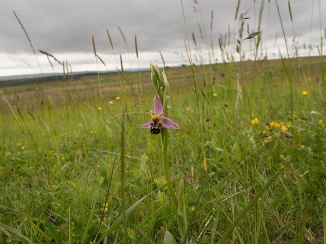 Bee Orchids: Big Moor, Derbyshire