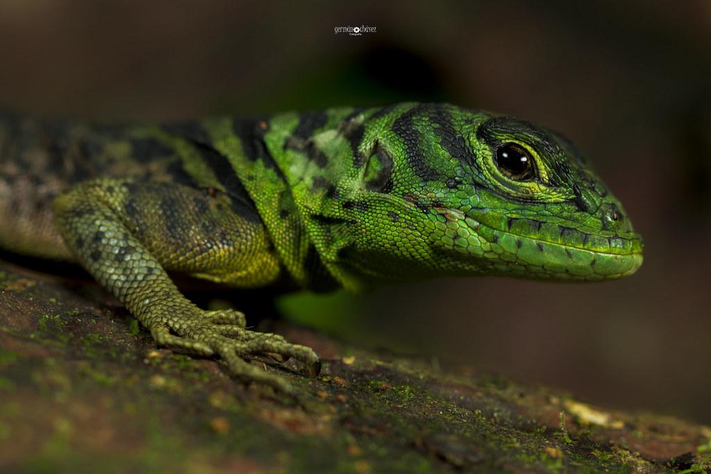 Green thorny tail Iguana (Uracentron azureum)