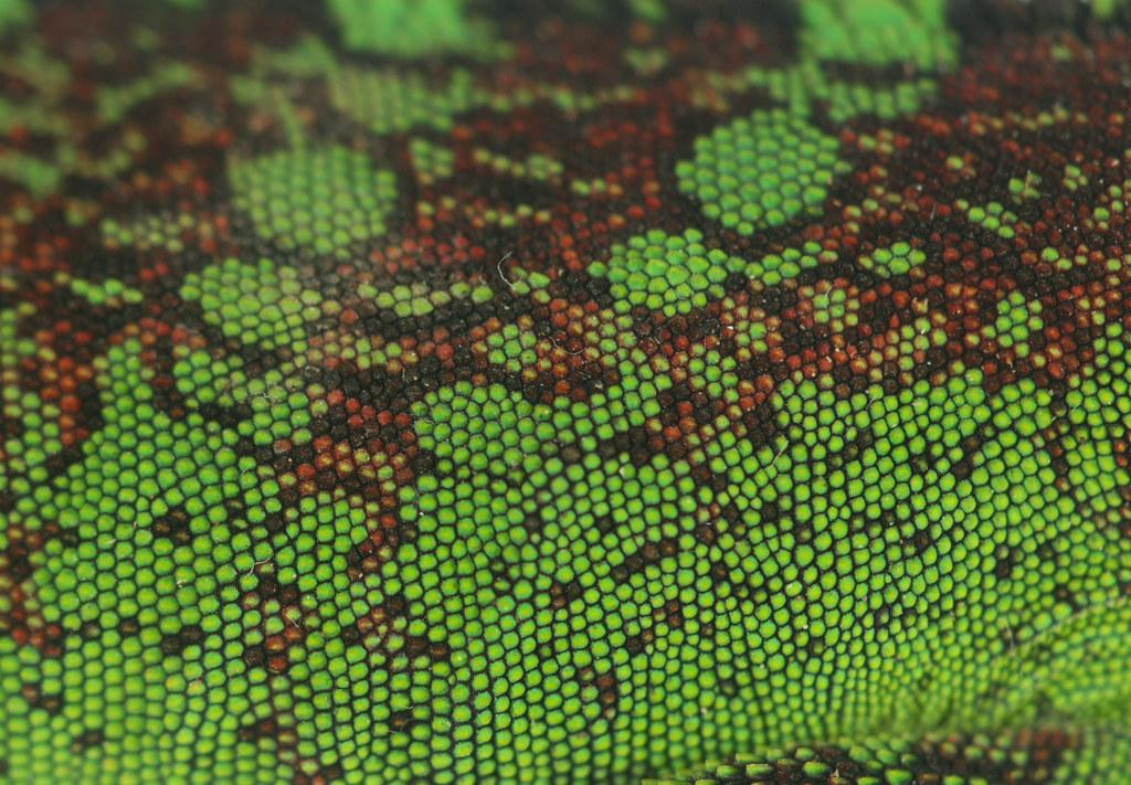 Amazon wood lizard skin (Enyalioides laticeps)