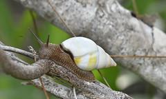 Florida Tree Snail (Liguus fasciatus)