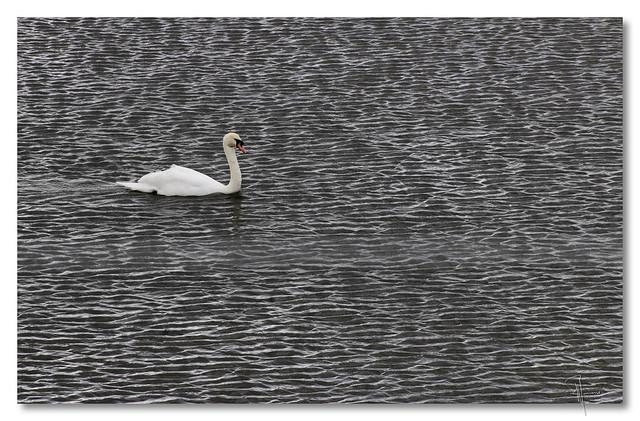 College lake swan