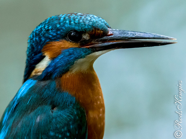 Kingfisher (m) Head and shoulders