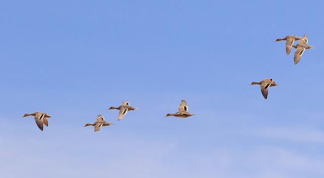 Canard à queue pointue - Laguna de Pozuelos/Jujuy/Argentina_20171121_031-1