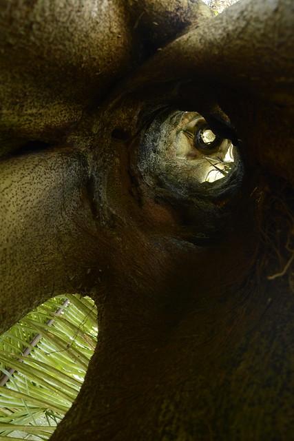 A hollow strangler fig