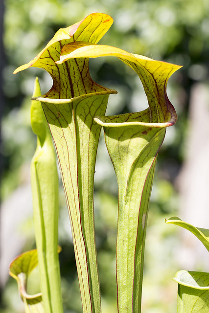 Sarracenia oreophila UCD B2003.020