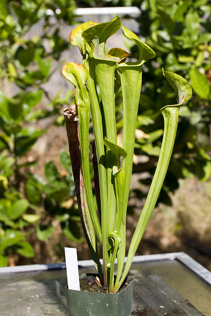 Sarracenia oreophila Purple Throat UCB x MK017