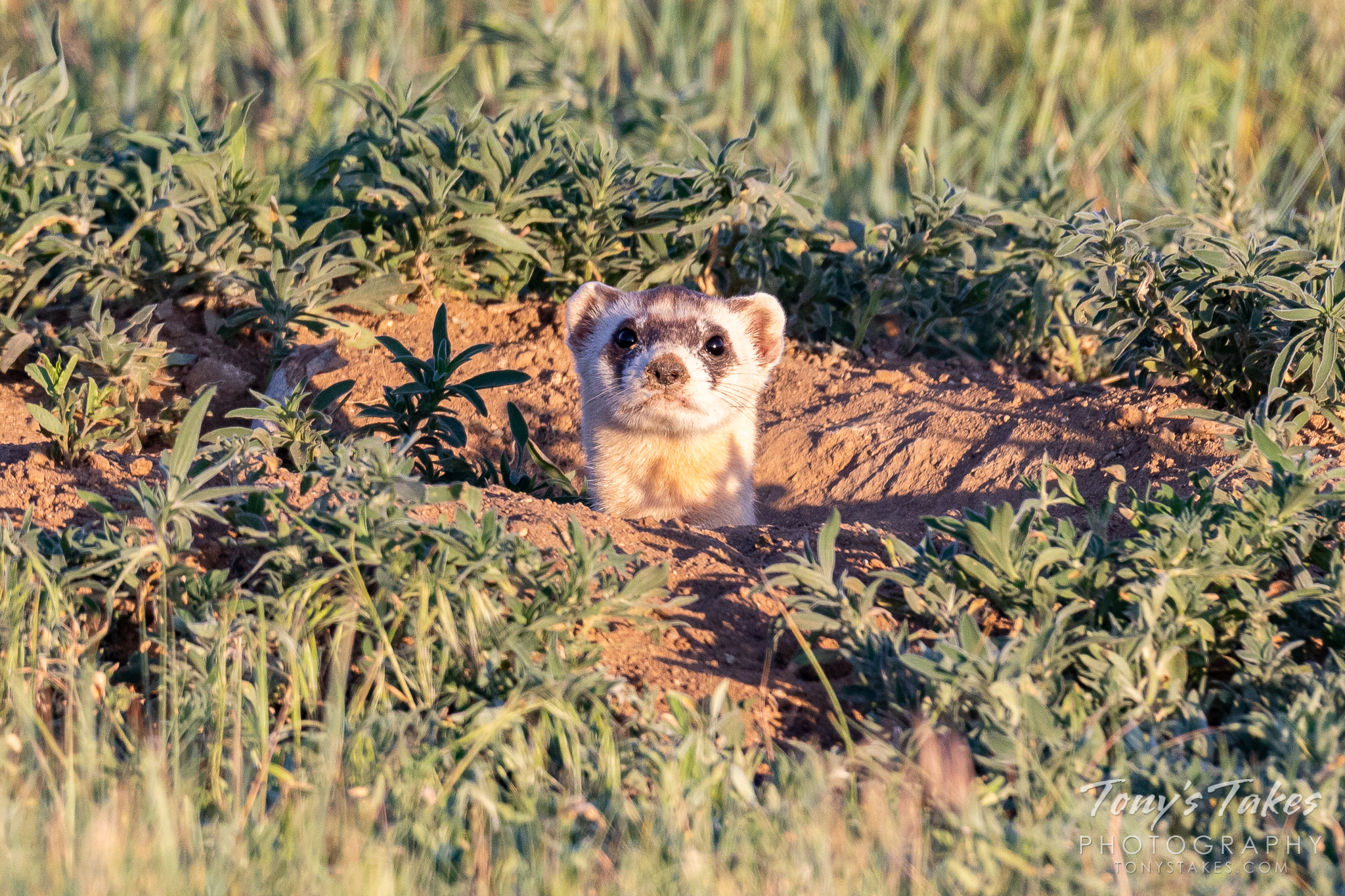 A black-footed ferret, North America's most endangered mammal, peeks up from a burrow in Colorado. (© Tony's Takes)