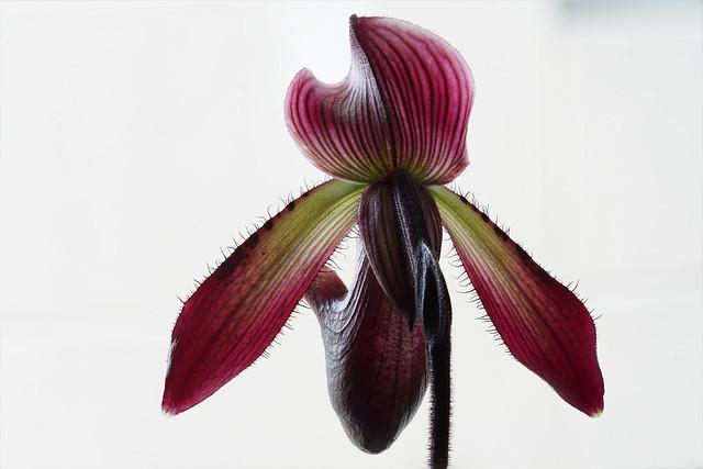 Orchid - Venus slipper