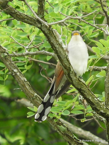 Yellow-billed Cuckoo_N2312