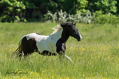 """""""Free"""" A pinto horse runs through the fields at Cades Cove, Tennessee. 