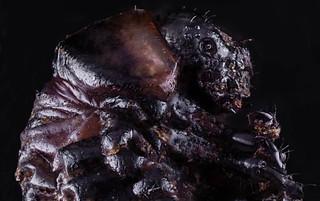 Larva de escarabajo de la patata.