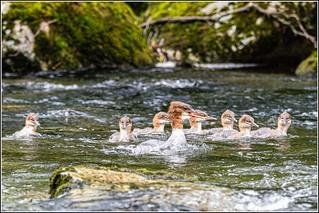 Goosander family on the river Derwent (Mergus merganser)