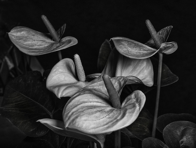 Anthurium Flowers In Black And White
