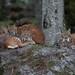 Eurasian Lynxes - Lynx lynx-7085