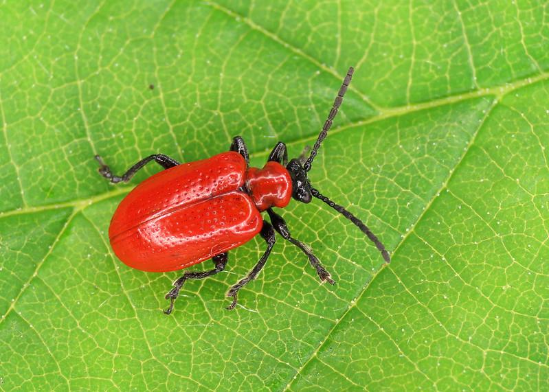 Lily Beetle - Lilioceris lilii