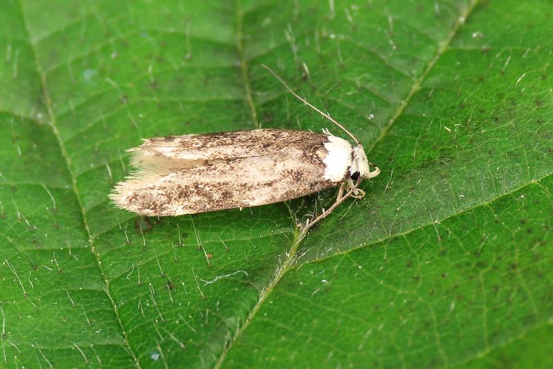 28.009 White-shouldered House-moth - Endrosis sarcitrella