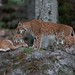 Eurasian Lynxes - Lynx lynx-7084