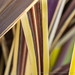 First Shot: Phormium Lines & Colors, 6.17.19
