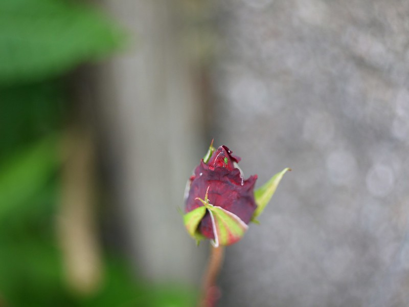 Aphid and the rose