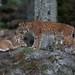 Eurasian Lynxes - Lynx lynx-7078
