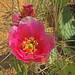 Claret Cactus Flower