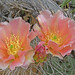 Pink Colored Cactus Flowers