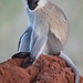 An Adult Vervet Monkey Sitting On A Termite Mound