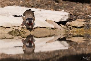 Pintassilgo / European Goldfinch (Carduelis carduelis)