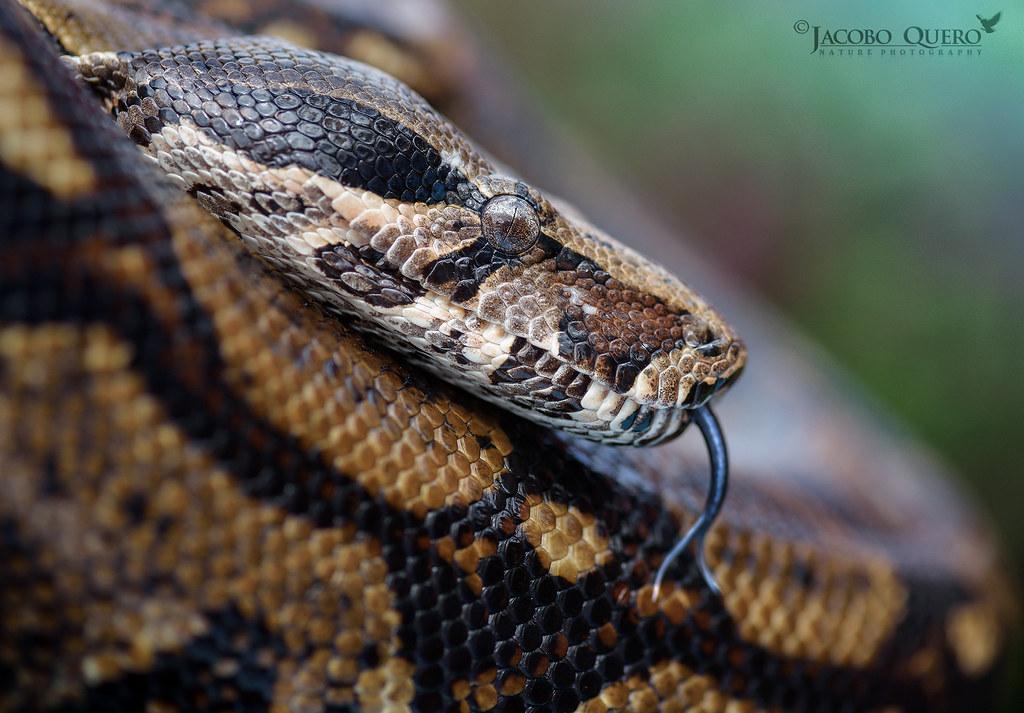 Boa constrictora/ Boa constrictor (Boa constrictor imperator)