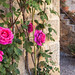Roses to greet you in Montefioralle, Italy.