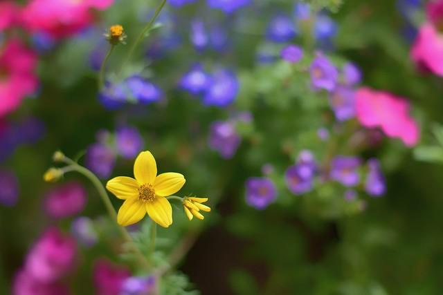 Voilà une petite fleur jaune...