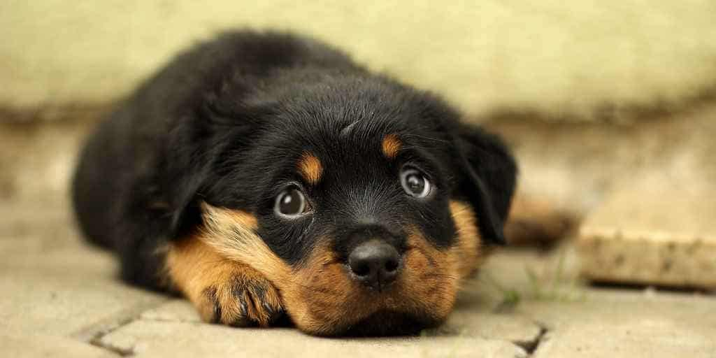 Nous aurions aidé à donner aux chiens des «yeux tristes»