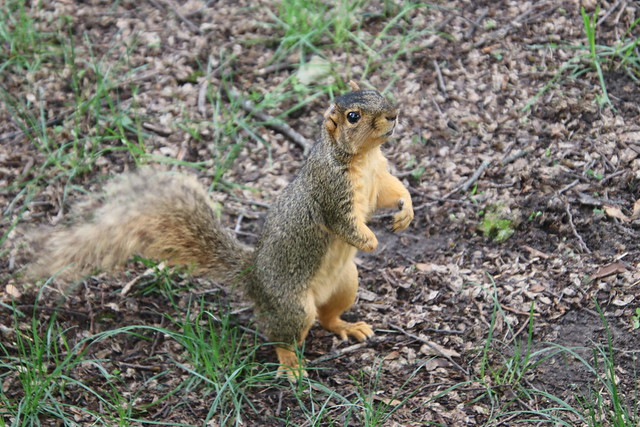 Fox Squirrels (and friends) on a Spring Day at the University of Michigan - June 17th, 2019