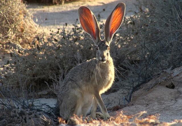 Desert critter