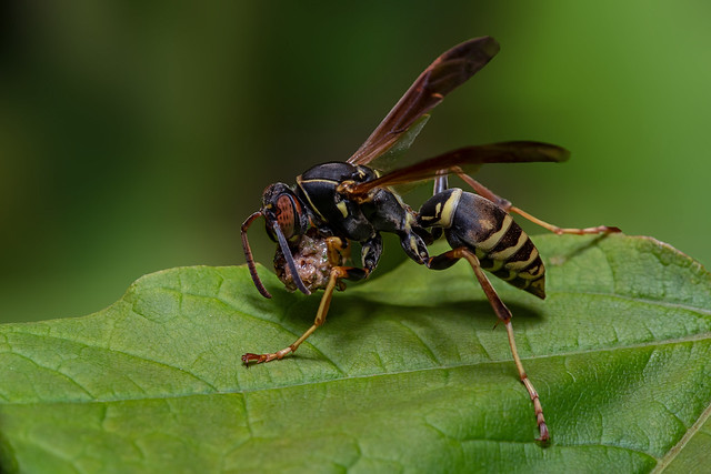 Wasp and Meal