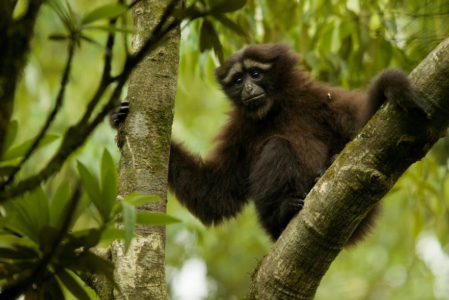 生活在雲南的鉤長臂猿。圖片來源:Alamy