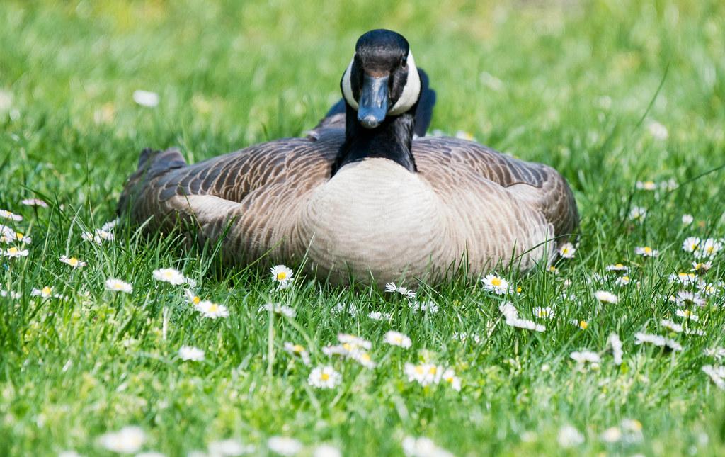 Goose (1 of 1)