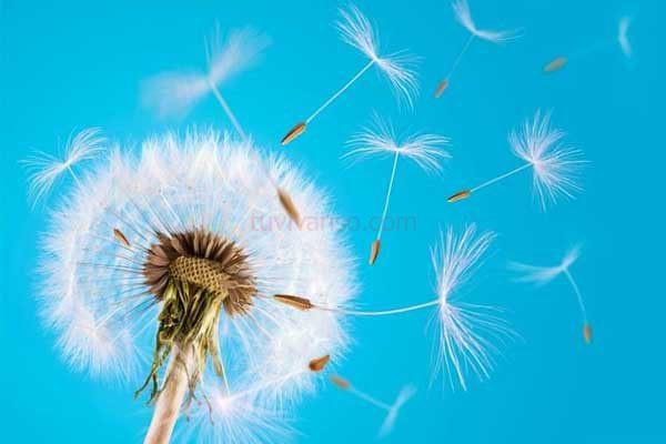 Mơ thấy hoa bồ công anh mang lại những điều may mắn nào?
