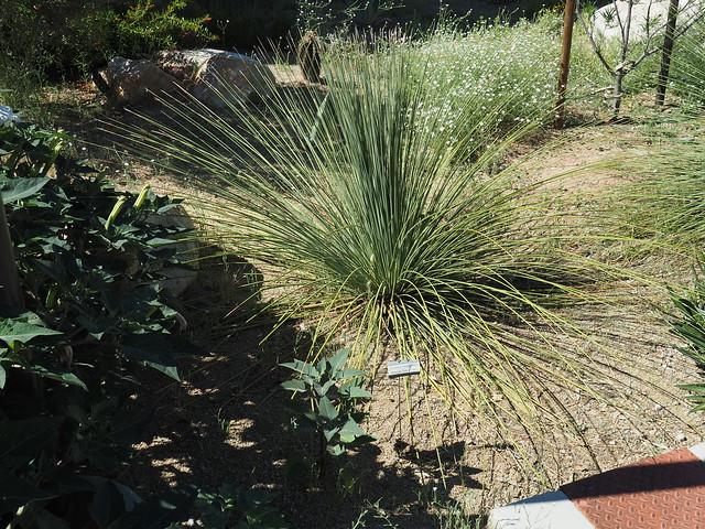 S4283471 Tucson Botanical Gardens Mexican Grass Tree dasylirion sass