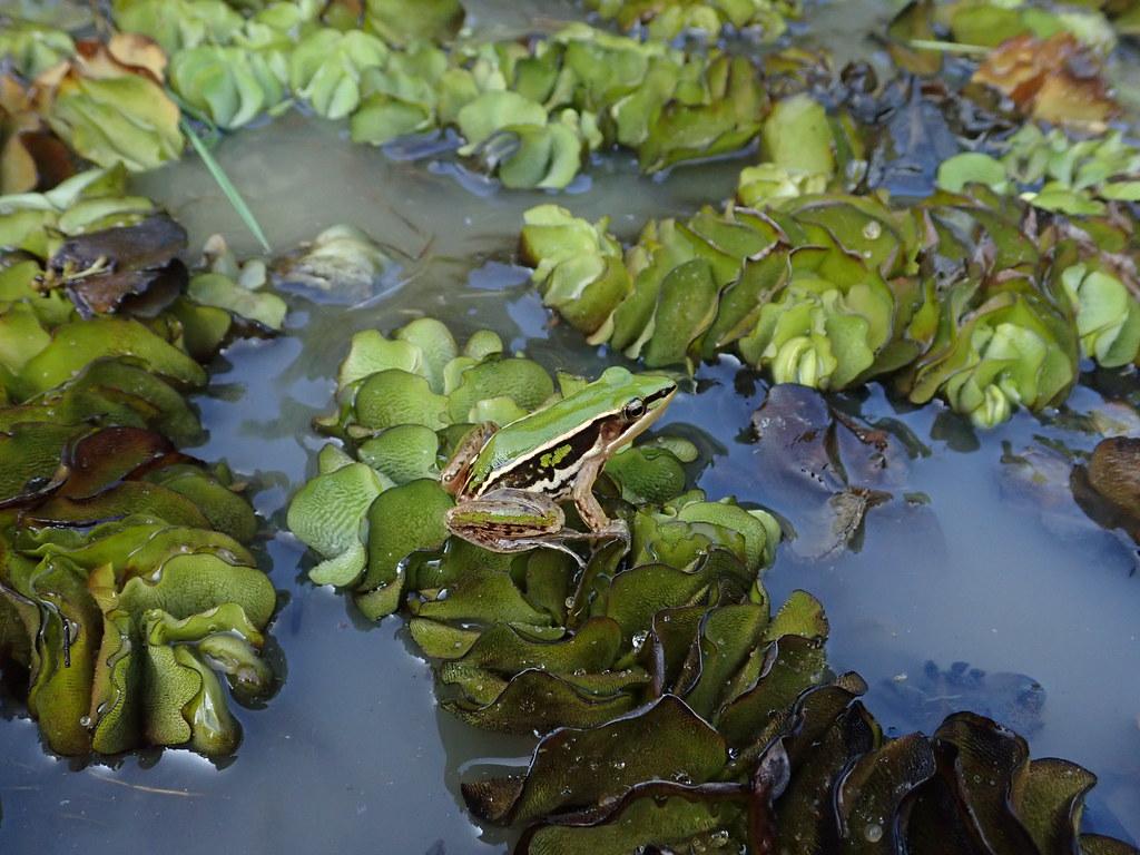 台北赤蛙在除水草時現蹤。攝影:周品翔