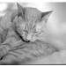 Romeo (Felis domesticus), Valencia, CA