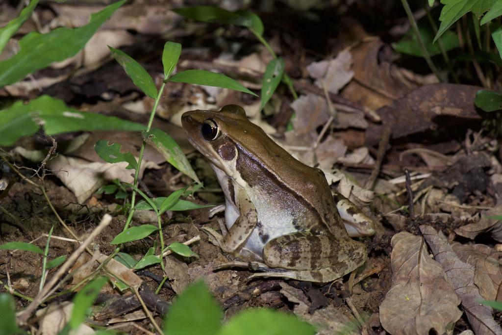 俗聲狗蛙的貢德氏赤蛙。攝影:洪碩辰