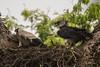 Harpy Eagle (Harpia harpyja) by Gmo_CR